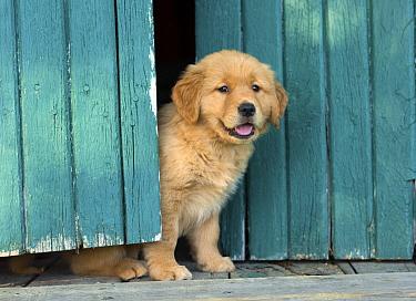 Golden Retriever (Canis familiaris) puppy, North America