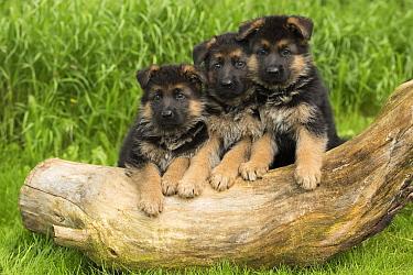 German Shepherd (Canis familiaris) puppies, North America