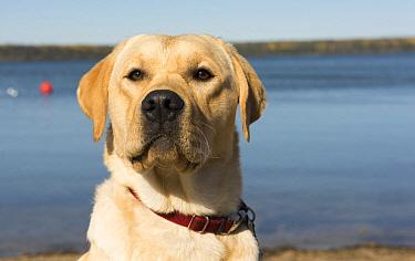 Yellow Labrador Retriever (Canis familiaris), North America