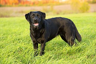 Black Labrador Retriever (Canis familiaris), North America