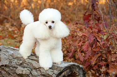 Toy Poodle (Canis familiaris), North America