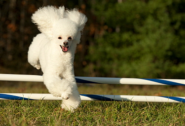 Toy Poodle (Canis familiaris) jumping, North America