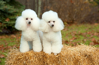 Toy Poodle (Canis familiaris) pair, North America