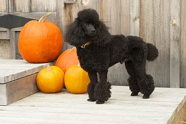 Miniature Poodle (Canis familiaris), North America