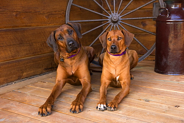 Rhodesian Ridgeback (Canis familiaris) male and female, North America