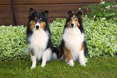 Shetland Sheepdog (Canis familiaris) pair, North America