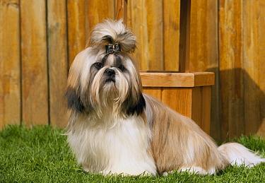 Shih Tzu (Canis familiaris) male, North America