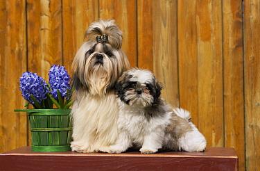 Shih Tzu (Canis familiaris) parent with puppy, North America