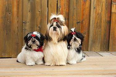 Shih Tzu (Canis familiaris) parent with puppies, North America