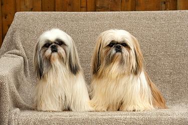 Shih Tzu (Canis familiaris) pair, North America