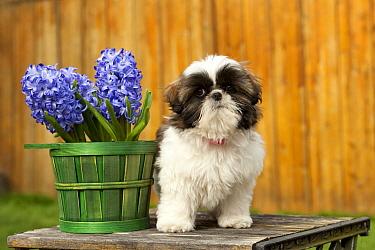 Shih Tzu (Canis familiaris) puppy, North America