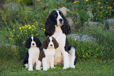 English Springer Spaniel (Canis familiaris) parent with puppies, North America