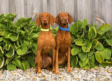 Vizsla (Canis familiaris) females, North America