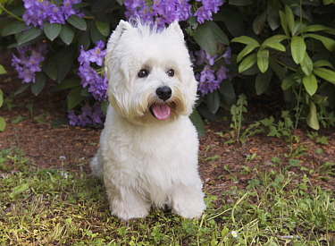 West Highland White Terrier (Canis familiaris), North America