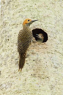 Fernandina's Flicker (Colaptes fernandinae) parent at nest cavity with chick, Zapata Peninsula, Cuba
