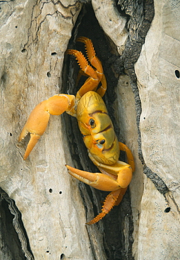 Purple Land Crab (Gecarcinus ruricola) juvenile, Zapata Peninsula, Cuba