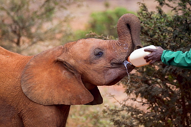 African Elephant (Loxodonta africana) orphaned calf bottle fed by keeper, David Sheldrick Wildlife Trust, Nairobi, Kenya