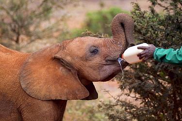 African Elephant (Loxodonta africana) orphaned calf bottle fed by keeper, David Sheldrick Wildlife Trust, Nairobi, Kenya