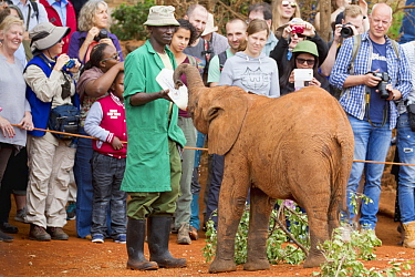 African Elephant (Loxodonta africana) orphaned calf bottle fed by keeper in front of tourists, David Sheldrick Wildlife Trust, Nairobi, Kenya