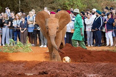 African Elephant (Loxodonta africana) orphaned calf playing with ball in front of tourists, David Sheldrick Wildlife Trust, Nairobi, Kenya