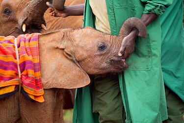 African Elephant (Loxodonta africana) orphaned calves with keeper, David Sheldrick Wildlife Trust, Nairobi, Kenya