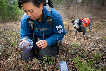 Domestic Dog (Canis familiaris) named Jack, a scent detection dog with Conservation Canines, found raptor foot, which is now being collected by field technician Colette Yee, northeast Washington