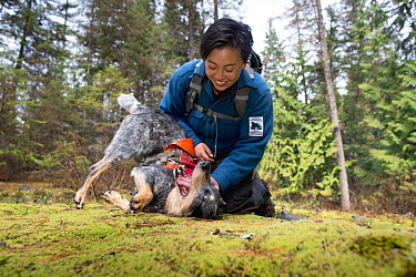 Domestic Dog (Canis familiaris) named Jack, a scent detection dog with Conservation Canines, playing with field technician Colette Yee, northeast Washington