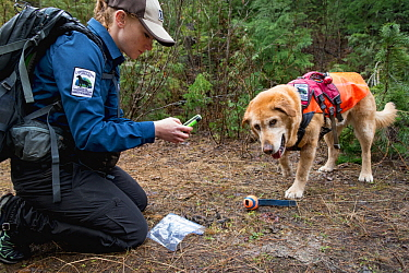 Domestic Dog (Canis familiaris) named Chester, a scent detection dog with Conservation Canines, found scat, which is now being recorded by field technician Rachel Katz, northeast Washington