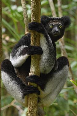 Indri (Indri indri), Madagascar