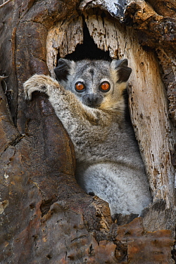 White-footed Sportive Lemur (Lepilemur leucopus) in cavity, Madagascar