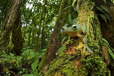 Wallace's Flying Frog (Rhacophorus nigropalmatus) in rainforest, Gunung Penrissen, Sarawak, Borneo, Malaysia
