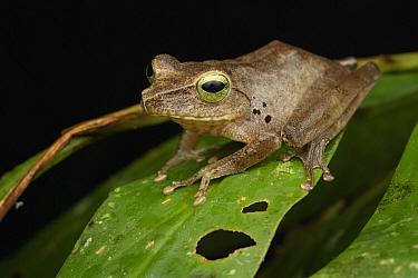 Hose's Frog (Rana hosii), Gunung Penrissen, Sarawak, Borneo, Malaysia