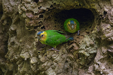 Buff-faced Pygmy-Parrot (Micropsitta pusio) pair in nest cavity in arboreal termite mound, Nimbokrang, West Papua, Indonesia