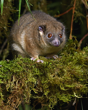 Arfak Ringtail (Pseudochirulus schlegeli), Arfak Mountains, West Papua, Indonesia