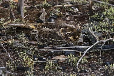 Madagascar Nightjar (Caprimulgus madagascariensis) camouflaged on ground, Madagascar