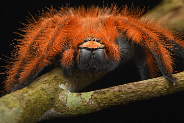 Huntsman Spider (Megaloremmius leo) female, Andasibe Mantadia National Park, Madagascar