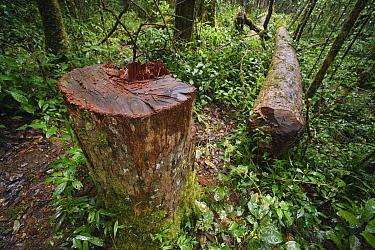 Madagascar Rosewood (Dalbergia baronii) illegally felled, Andasibe, Madagascar