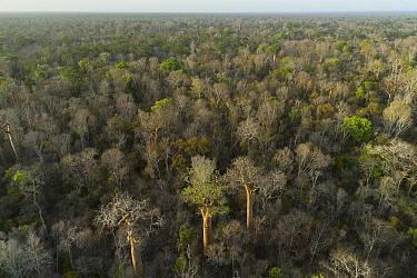 Fony Baobab (Adansonia rubrostipa) trees in dry deciduous forest, Kirindy Forest, Madagascar