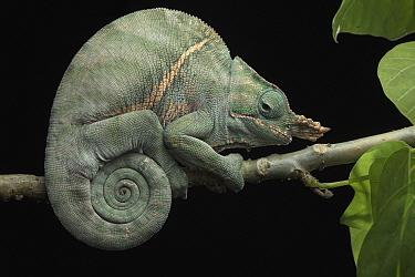 Baudrier's Chameleon (Furcifer balteatus) male, Ranomafana National Park, Madagascar