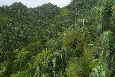 Travellers Palm (Ravenala madagascariensis) trees on hillside, Fianarantsoa Province, Madagascar