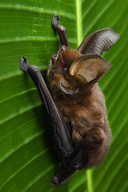 Madagascar Sucker-footed Bat (Myzopoda aurita) female, Fianarantsoa Province, Madagascar