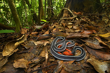 Red-headed Krait (Bungarus flaviceps) in rainforest, Santubong National Park, Sarawak, Borneo, Malaysia