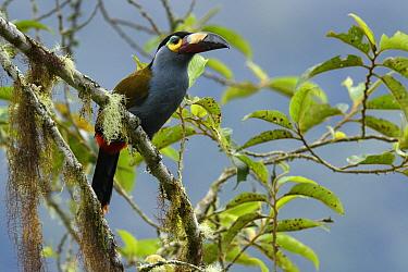 Plate-billed Mountain-Toucan (Andigena laminirostris), Mindo, Ecuador