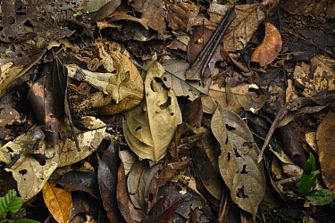 Amazon Horned Frog (Ceratophrys cornuta) camouflaged in leaf litter, Yasuni National Park, Ecuador