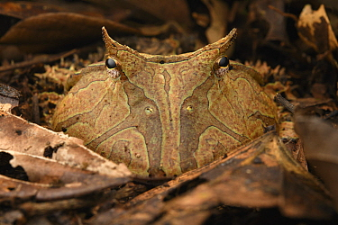 Amazon Horned Frog (Ceratophrys cornuta), Yasuni National Park, Ecuador