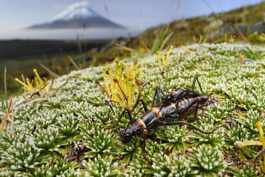 Stick Insect (Monticomorpha flavolimbata) pair mating in mountains, Bengoh Range, Ecuador