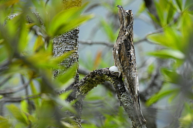 Common Potoo (Nyctibius griseus) mimicking branch, Utria National Park, Colombia
