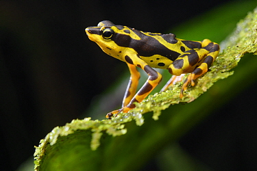 Condoto Stubfoot Toad (Atelopus spurrelli), Utria National Park, Colombia