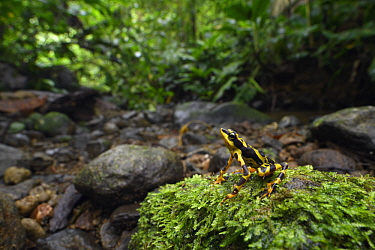 Condoto Stubfoot Toad (Atelopus spurrelli) in rainforest, Utria National Park, Colombia