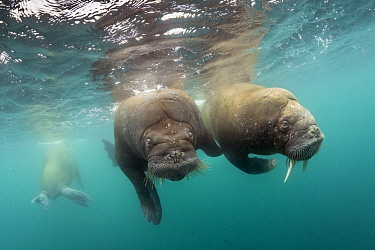 Walrus (Odobenus rosmarus) trio, Spitsbergen, Svalbard, Norway